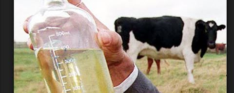 Cow Urine Therapy: Healthy or Dangerous?